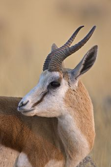 Free Springbok Portrait Royalty Free Stock Image - 19030446