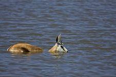 Free Springbok Standing In Deep Water Stock Images - 19030484