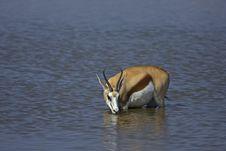 Free Springbok Standing In Waterhole Stock Image - 19030511