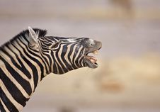Free Zebra Royalty Free Stock Photos - 19030548