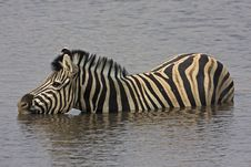 Free Close-up Of Zebra In Waterhole Royalty Free Stock Photos - 19030598
