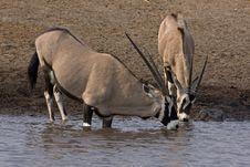 Two Gemsbok Standing At Waterhole Royalty Free Stock Image
