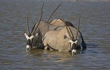 Free Three Gemsbok Standing In Deep Water Royalty Free Stock Images - 19030699