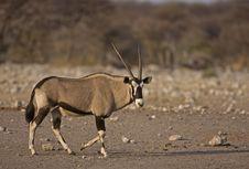 Free Oryx Gazella Walking In Rocky Field Stock Images - 19030794