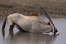 Free Gemsbok Standing In Waterhole Stock Photography - 19030832