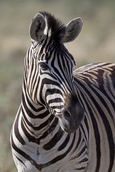 Free Portrait Of Burchells Zebra Royalty Free Stock Photo - 19031005