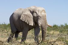 Free Big Elephant Bull Royalty Free Stock Image - 19031136