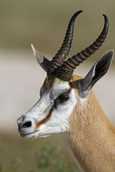 Free Springbok Portrait Royalty Free Stock Images - 19031169