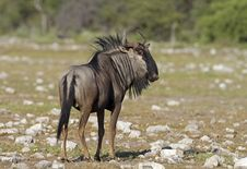 Free Close-up Of Blue Wildebeest Stock Photos - 19031203