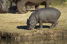 Free Hippopotamus Baby Stock Photo - 19031310