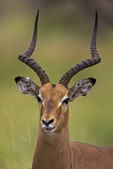 Free Close-up Portrait Of Male Impala Stock Photos - 19031333