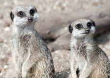Two Meerkats Stock Image