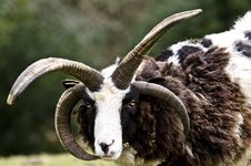 The Goat King Stock Images