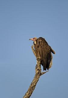 Free White Headed Vulture Royalty Free Stock Photography - 19031357