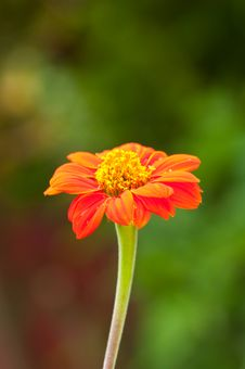 Free Zinnia Flower On Green Background Stock Photo - 19031360