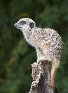 Free Meerkat On A Post Stock Photo - 19031370