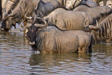 Free Wildebeest At Waterhole Stock Image - 19032571