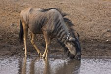 Wildebeest Drinking Royalty Free Stock Photo