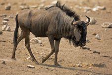 Free Wildebeest Walking In Rocky Field Stock Photography - 19032642