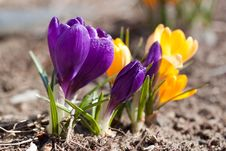 Free Crocuses Macro Stock Photo - 19033550