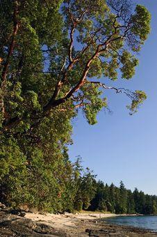 Free Arbutus Tree Reaching Toward The Ocean. Stock Photos - 19034783