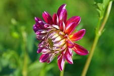 Free Dahlia Flower Stock Images - 19035664