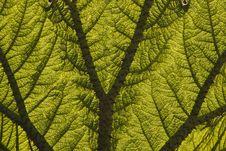 Free Leaf Of A Giant Rhubarb (Gunnera Manicata) Royalty Free Stock Photo - 19035865