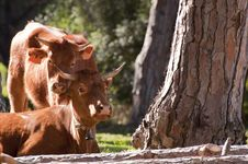 Free Pair Of Spanish Cows In The Sunshine Royalty Free Stock Images - 19036479