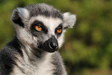Free Lemur Kata Royalty Free Stock Photo - 19037345