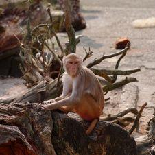 Free Rhesus Monkey At The Heidelberg S Zoo, Germany Royalty Free Stock Image - 19037776