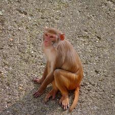 Rhesus Monkey At The Heidelberg S Zoo, Germany Royalty Free Stock Image
