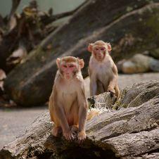 Rhesus Monkey At The Heidelberg S Zoo, Germany Stock Photography