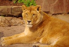 Free Lion Female Is Lying In Rest In Heidelberg Zoo Royalty Free Stock Photography - 19037817