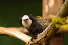 Free White-fronted Marmoset At Heidelberg S Zoo Royalty Free Stock Photography - 19037837