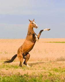 Free Bay Akhal-teke Stallion On The Field Royalty Free Stock Photos - 19037938
