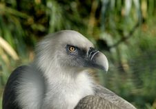 Free Vulture Stock Image - 19038221