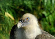 Free Griffon Vulture Stock Photo - 19038630