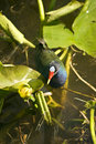Free Purple Gallinule Stock Photography - 19049592