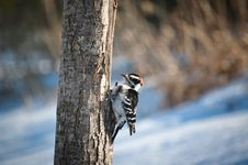 Free Downy Woodpecker On A Tree Stock Images - 19040404
