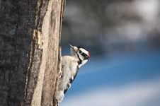 Free Downy Woodpecker On A Tree Royalty Free Stock Photo - 19040405