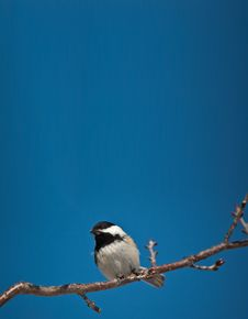 Free Black-Capped Chickadee Eating A Seed. Royalty Free Stock Photo - 19040415