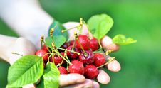 Free Cherries In Woman Hands Stock Photo - 19041720