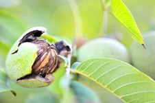 Free Ripe Walnut In Opened Shell Royalty Free Stock Images - 19041749