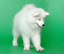 Free Samoyed Dog Stock Images - 19041824