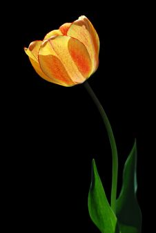 Yellow Tulip With Red Dots On A Black Background