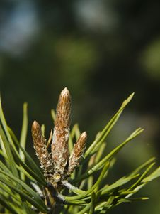 Free Close Up On Conifer Stock Photo - 19042160