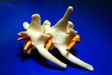 Free Dog Spine Bones Royalty Free Stock Photo - 19042555