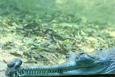 Free Dreaming Indian Gavial (Under Water Scene) Stock Photo - 19045230