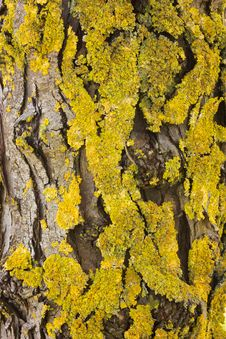 Free Yellow Lichen Royalty Free Stock Image - 19046186