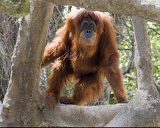 Free Orangutan Stock Image - 19046631